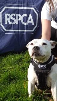 RSPCA Bulldog